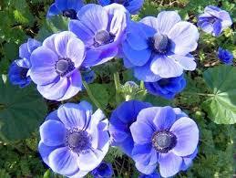 انواع الورد و صور ورد لكل نوع من الانواع مهداه الى عشاق الورود 909322715.jpg